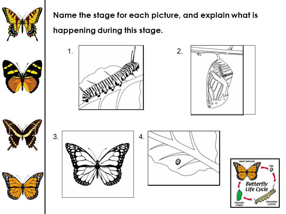 Name the stage for each picture, and explain what is happening during this stage. 2.1. 3.4.
