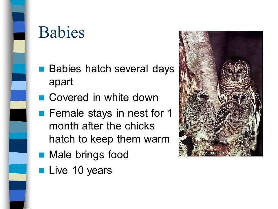 Babies Babies hatch several days apart Covered in white down Female stays in nest for 1 month after the chicks hatch to keep them warm Male brings food Live 10 years