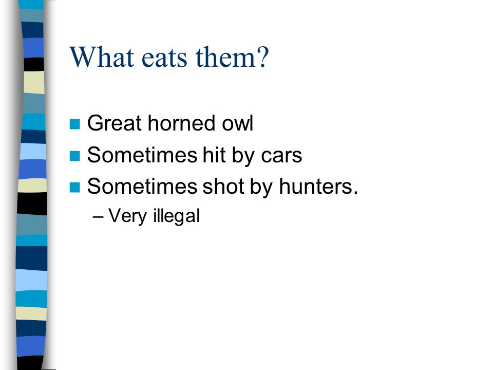 What eats them Great horned owl Sometimes hit by cars Sometimes shot by hunters. –Very illegal