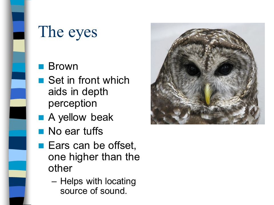 The eyes Brown Set in front which aids in depth perception A yellow beak No ear tuffs Ears can be offset, one higher than the other –Helps with locating source of sound.