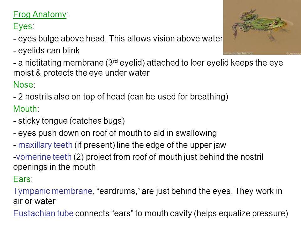 Frog Anatomy: Eyes: - eyes bulge above head.