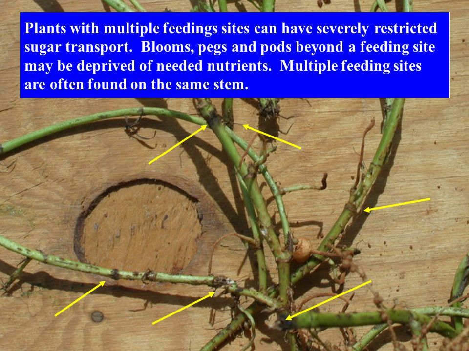 Plants with multiple feedings sites can have severely restricted sugar transport. Blooms, pegs and pods beyond a feeding site may be deprived of neede