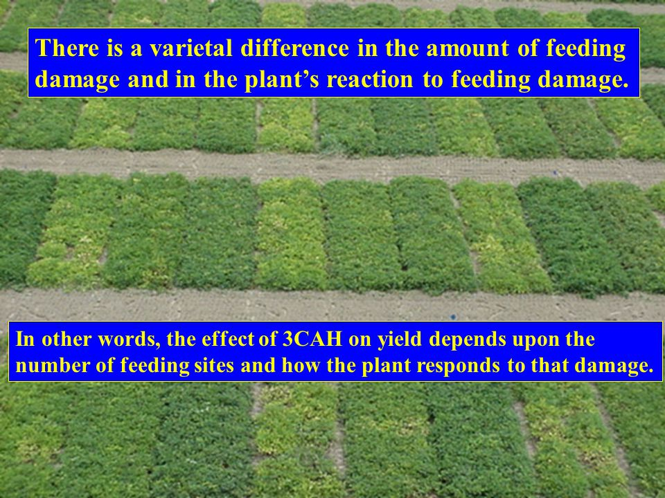 There is a varietal difference in the amount of feeding damage and in the plant's reaction to feeding damage. In other words, the effect of 3CAH on yi