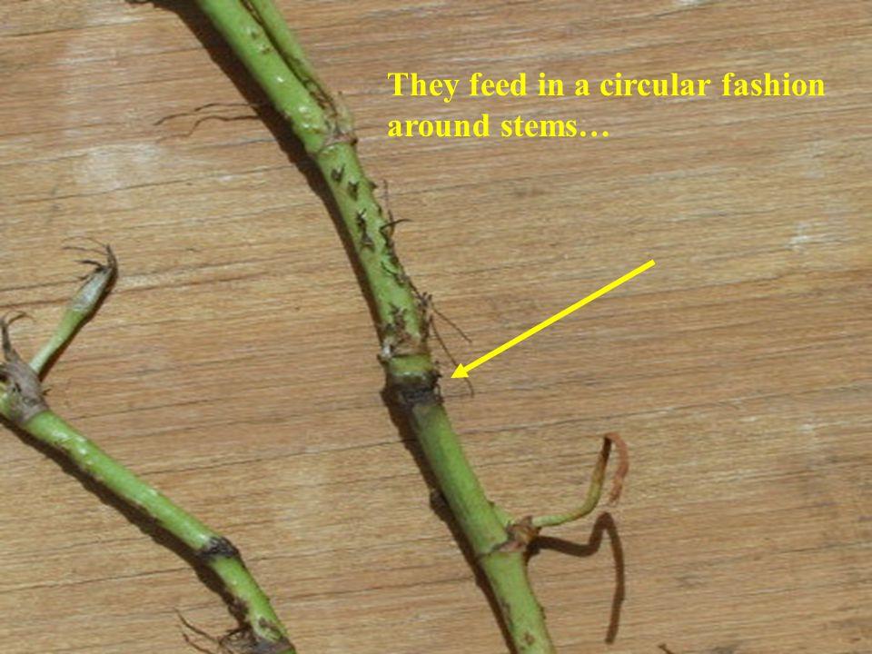 They feed in a circular fashion around stems…