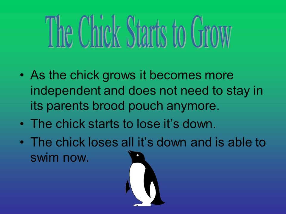 As the chick grows it becomes more independent and does not need to stay in its parents brood pouch anymore.