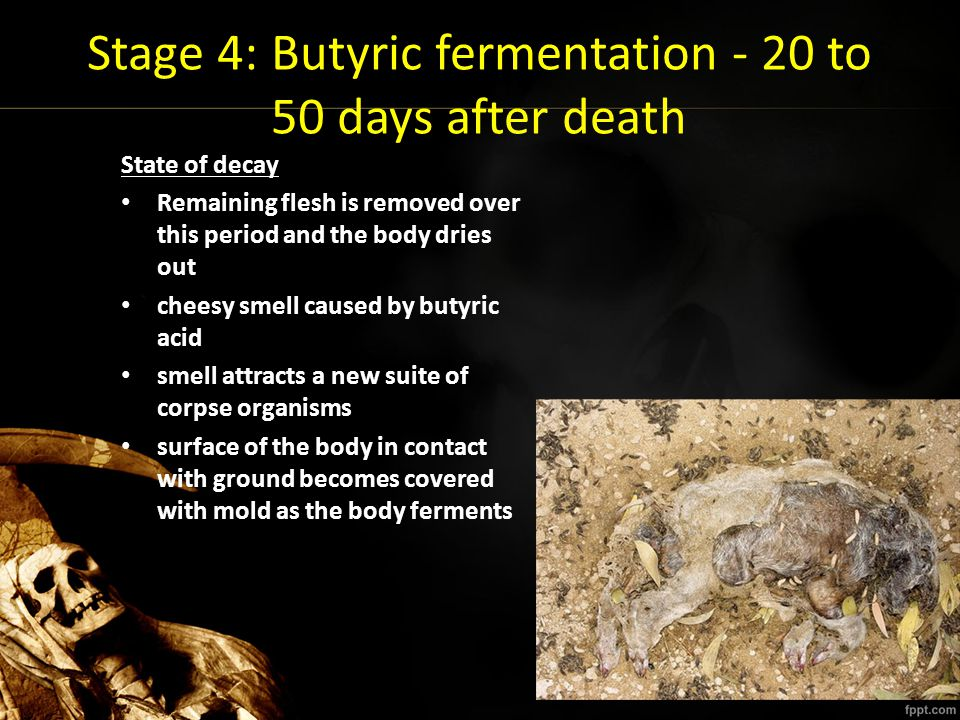 Stage 4: Butyric fermentation - 20 to 50 days after death State of decay Remaining flesh is removed over this period and the body dries out cheesy sme