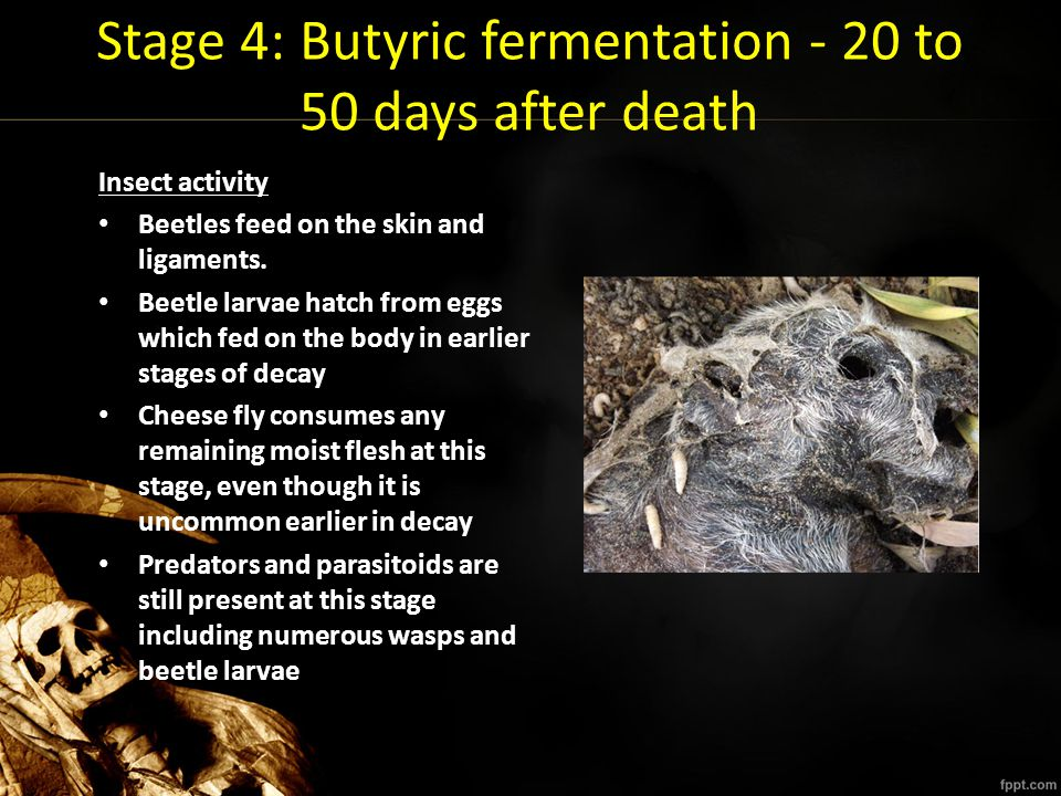 Stage 4: Butyric fermentation - 20 to 50 days after death Insect activity Beetles feed on the skin and ligaments. Beetle larvae hatch from eggs which