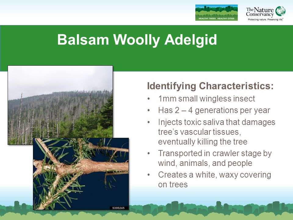 Balsam Woolly Adelgid Identifying Characteristics: 1mm small wingless insect Has 2 – 4 generations per year Injects toxic saliva that damages tree's vascular tissues, eventually killing the tree Transported in crawler stage by wind, animals, and people Creates a white, waxy covering on trees