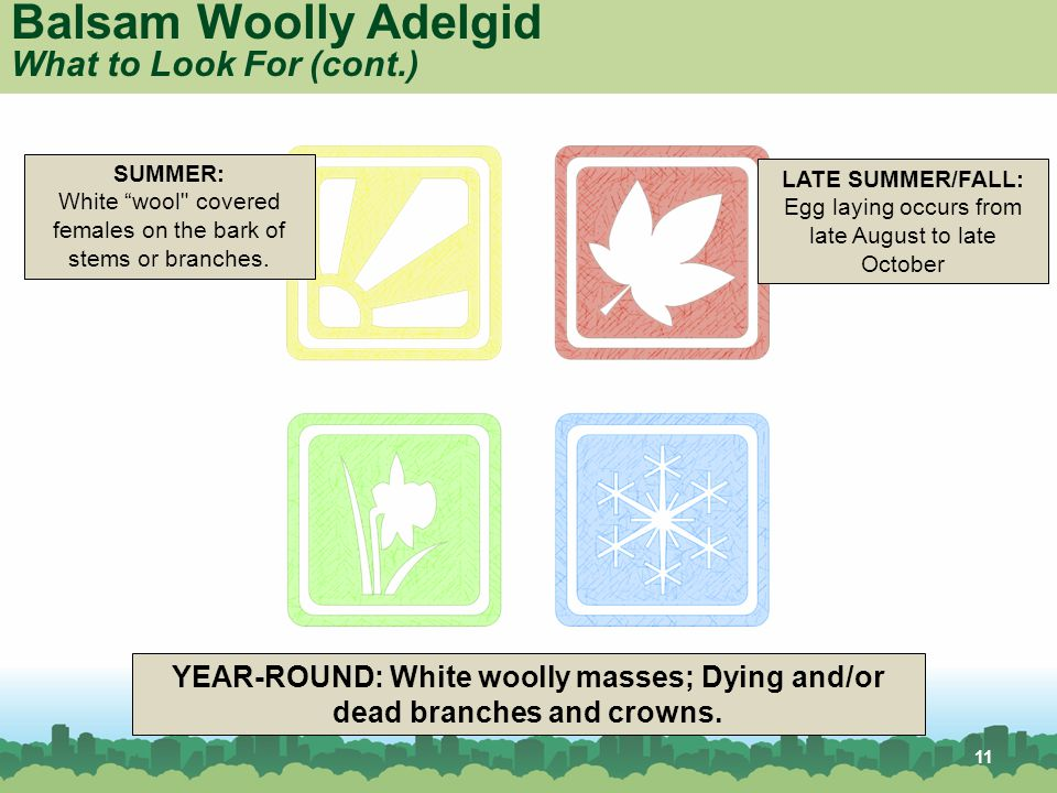 11 YEAR-ROUND: White woolly masses; Dying and/or dead branches and crowns.