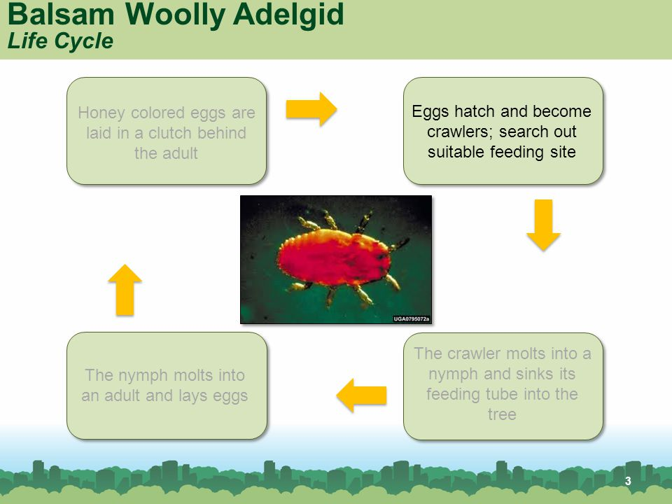 Balsam Woolly Adelgid Life Cycle Honey colored eggs are laid in a clutch behind the adult Eggs hatch and become crawlers; search out suitable feeding site The crawler molts into a nymph and sinks its feeding tube into the tree The nymph molts into an adult and lays eggs 3