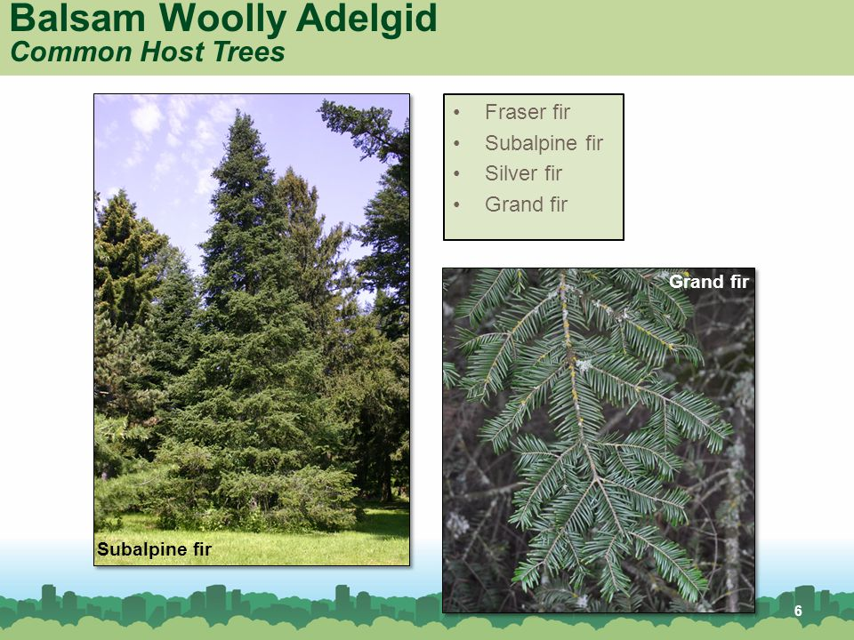 Balsam Woolly Adelgid Common Host Trees Grand fir Subalpine fir Fraser fir Subalpine fir Silver fir Grand fir 6