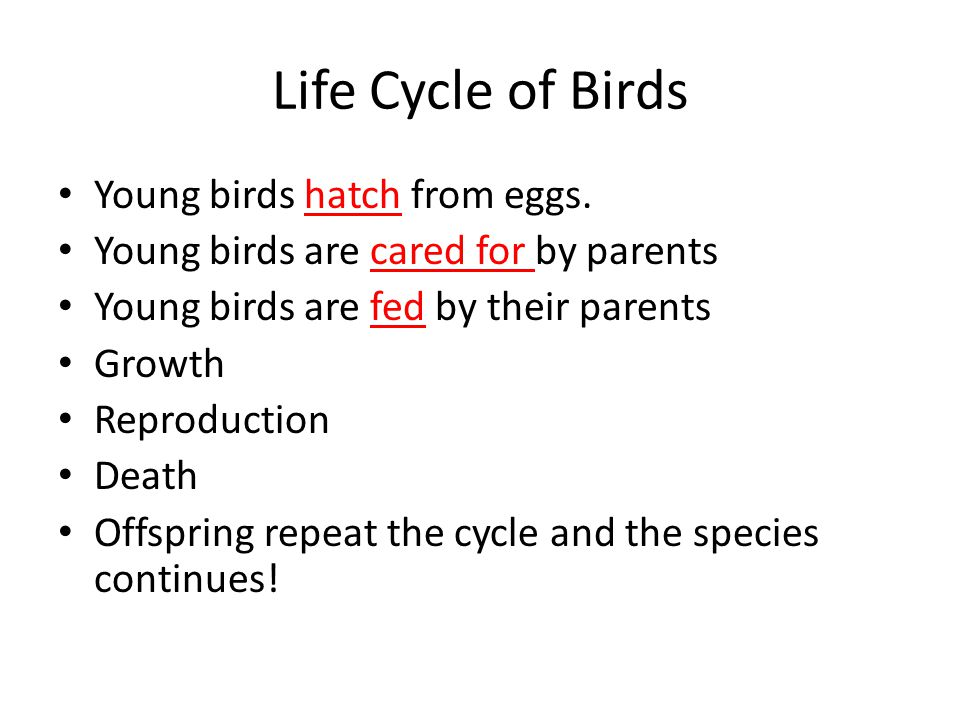 Life Cycle of Birds Young birds hatch from eggs. Young birds are cared for by parents Young birds are fed by their parents Growth Reproduction Death O