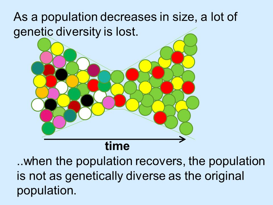 ..when the population recovers, the population is not as genetically diverse as the original population.