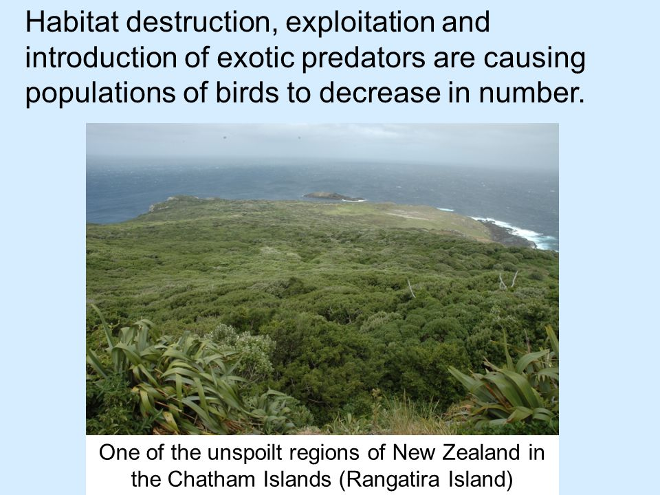 One of the unspoilt regions of New Zealand in the Chatham Islands (Rangatira Island) Habitat destruction, exploitation and introduction of exotic predators are causing populations of birds to decrease in number.