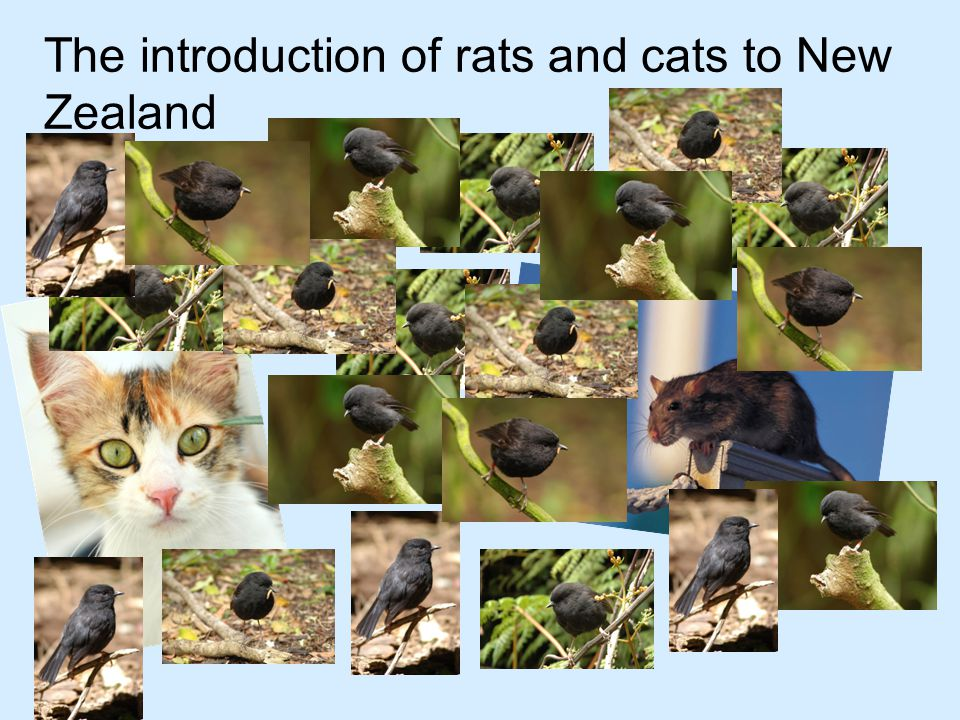 The introduction of rats and cats to New Zealand