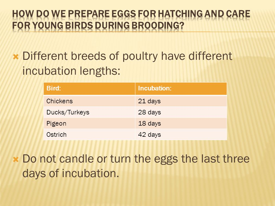  Different breeds of poultry have different incubation lengths:  Do not candle or turn the eggs the last three days of incubation. Bird:Incubation: