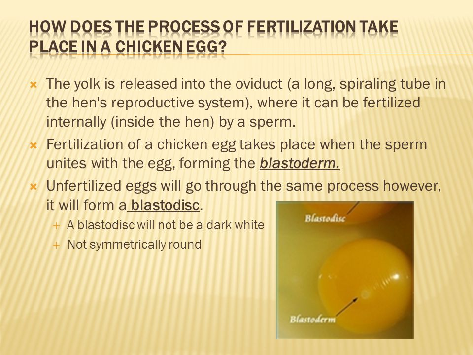  The yolk is released into the oviduct (a long, spiraling tube in the hen's reproductive system), where it can be fertilized internally (inside the h