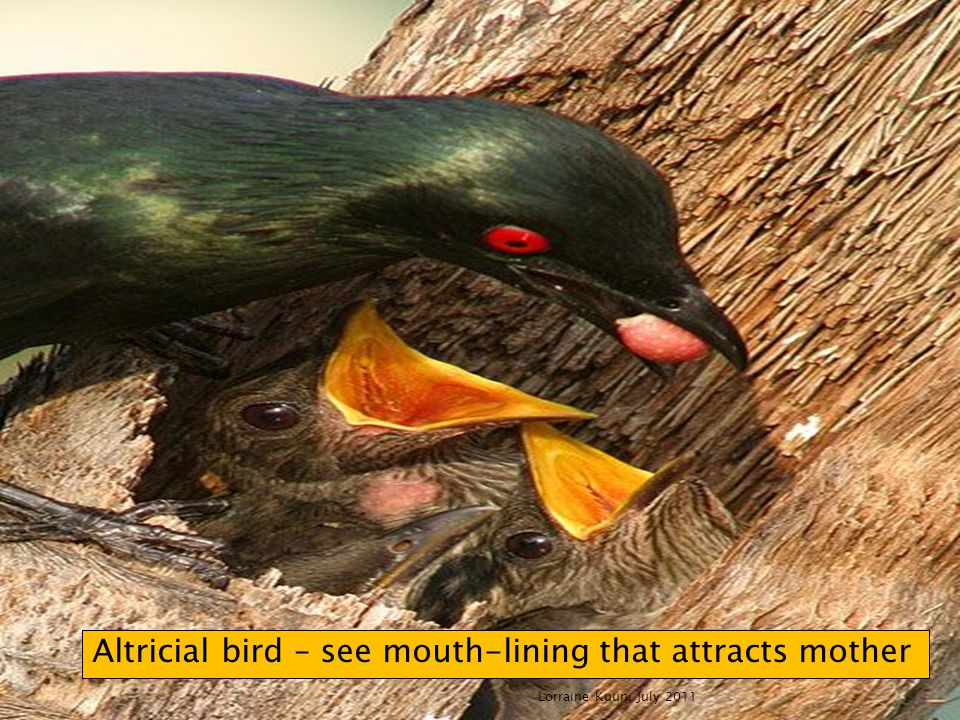 Lorraine Kuun, July 2011 Altricial bird – see mouth-lining that attracts mother