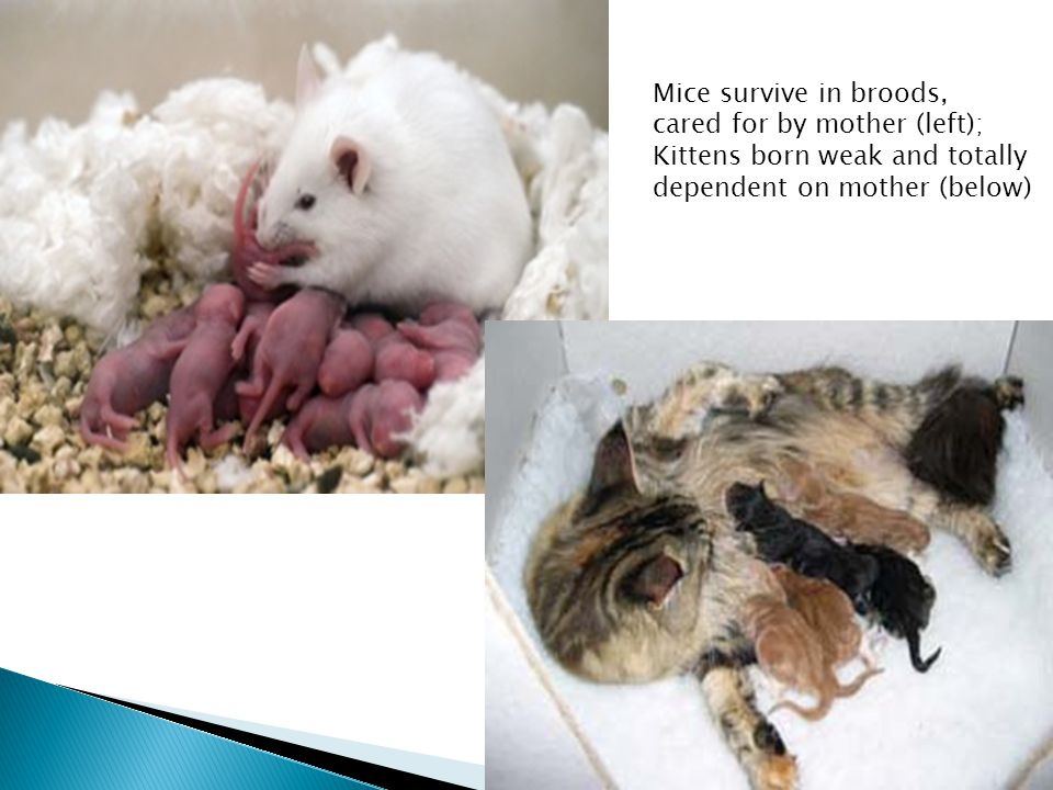Lorraine Kuun, July 2011 Mice survive in broods, cared for by mother (left); Kittens born weak and totally dependent on mother (below)
