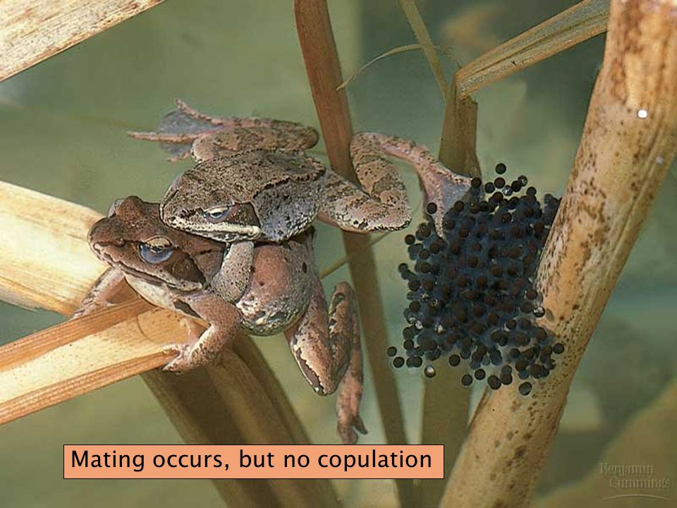 Mating occurs, but no copulation