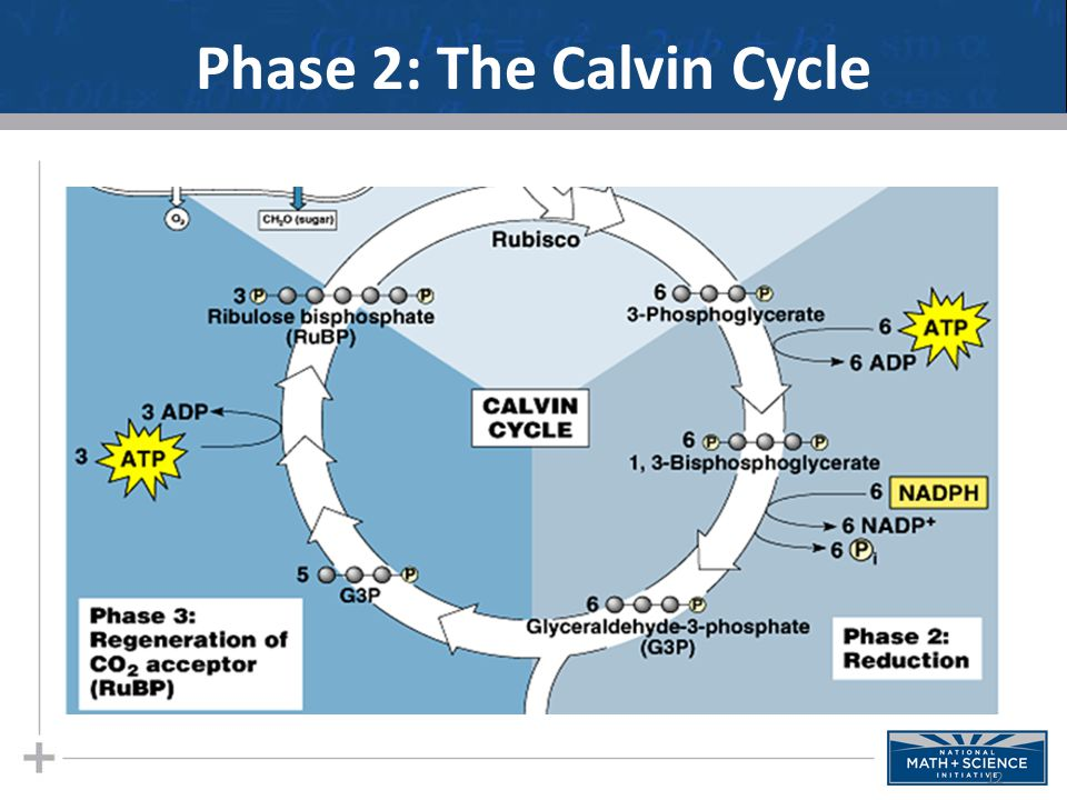Phase 2: The Calvin Cycle 12