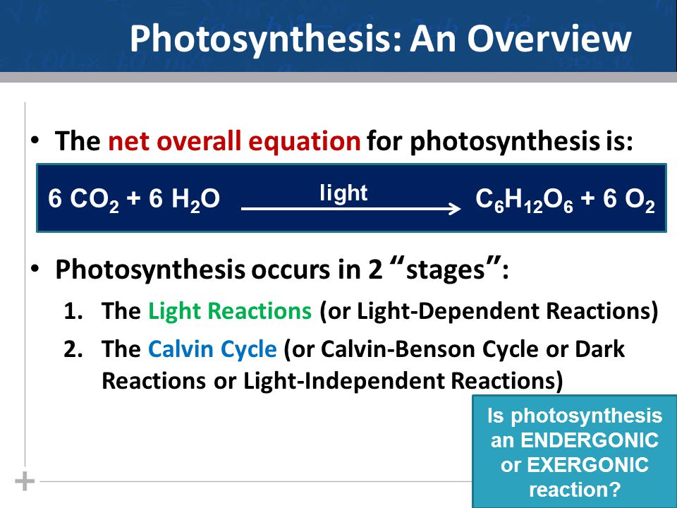 Photosynthesis: An Overview The net overall equation for photosynthesis is: Photosynthesis occurs in 2 stages : 1.The Light Reactions (or Light-Dependent Reactions) 2.The Calvin Cycle (or Calvin-Benson Cycle or Dark Reactions or Light-Independent Reactions) 2 6 CO 2 + 6 H 2 O C 6 H 12 O 6 + 6 O 2 light Is photosynthesis an ENDERGONIC or EXERGONIC reaction?