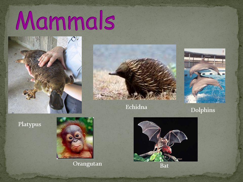 Platypus Echidna Dolphins Orangutan Bat