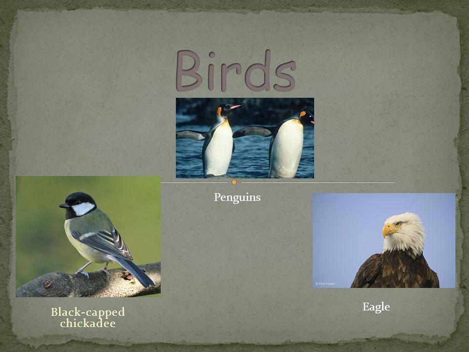Black-capped chickadee Penguins Eagle