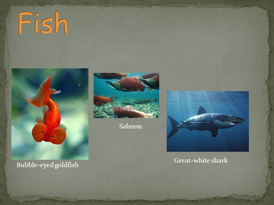 Bubble-eyed goldfish Salmon Great-white shark