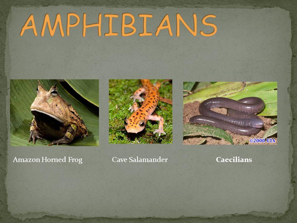 Amazon Horned FrogCave SalamanderCaecilians