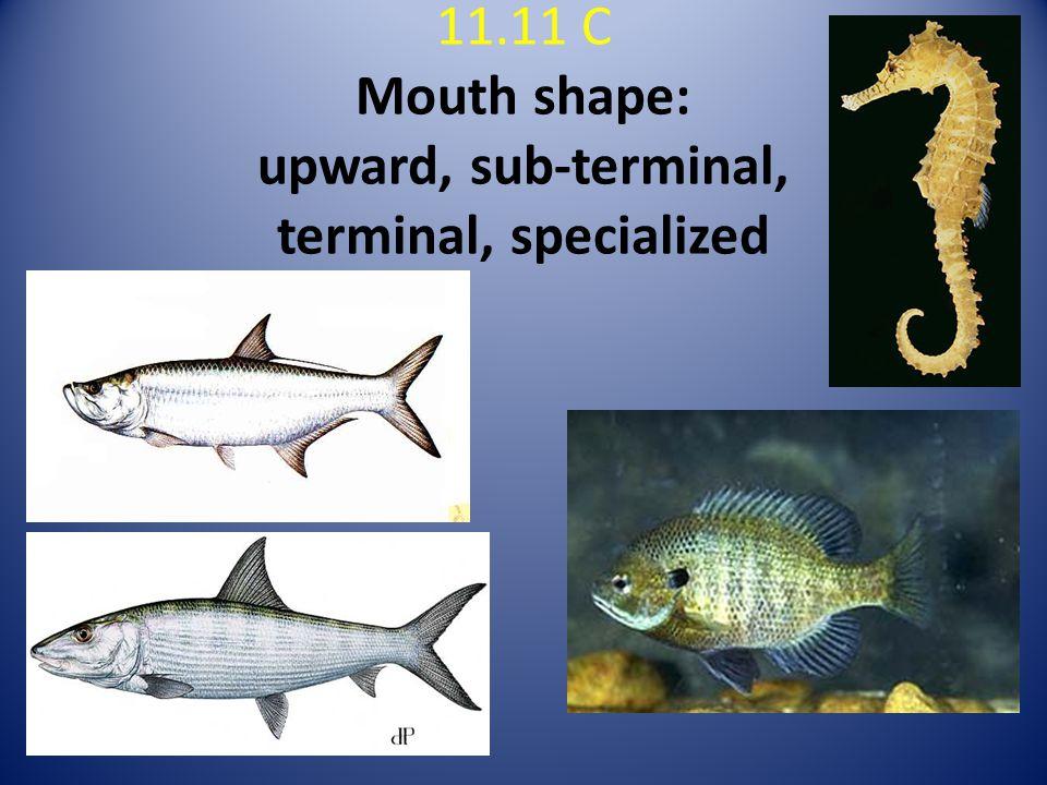 11.11 C Mouth shape: upward, sub-terminal, terminal, specialized