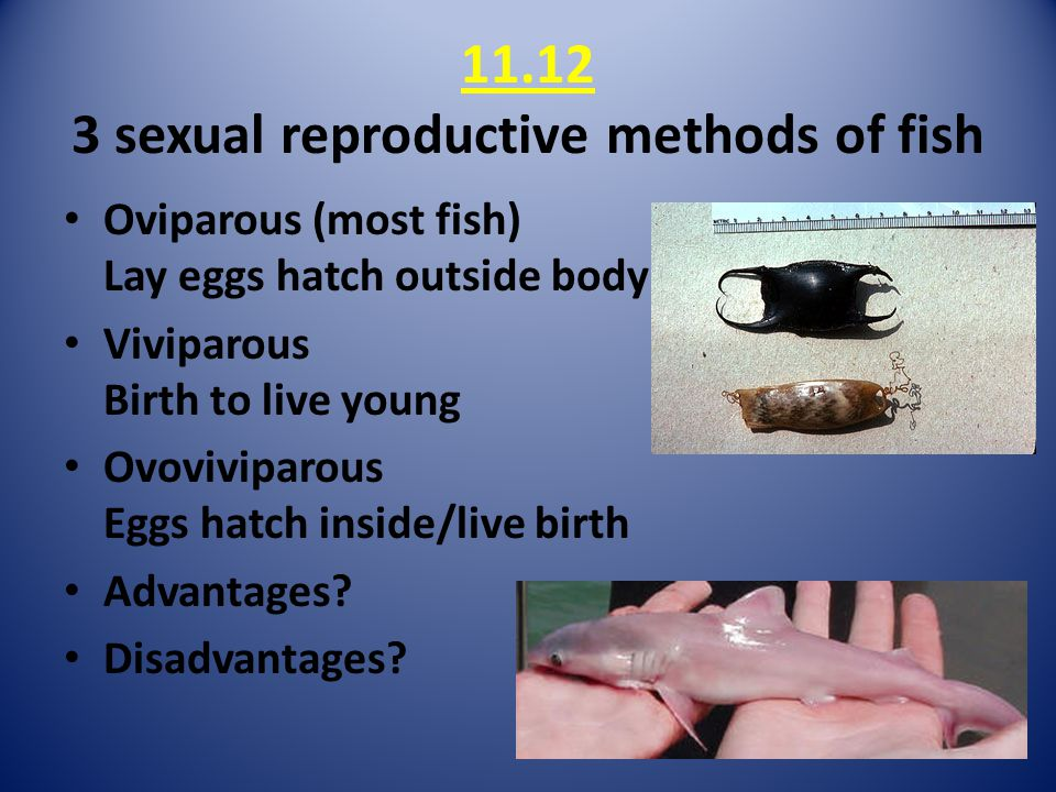 11.12 3 sexual reproductive methods of fish Oviparous (most fish) Lay eggs hatch outside body Viviparous Birth to live young Ovoviviparous Eggs hatch inside/live birth Advantages.