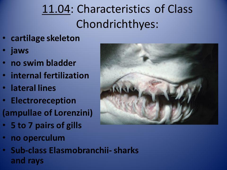 11.04: Characteristics of Class Chondrichthyes: cartilage skeleton jaws no swim bladder internal fertilization lateral lines Electroreception (ampullae of Lorenzini) 5 to 7 pairs of gills no operculum Sub-class Elasmobranchii- sharks and rays
