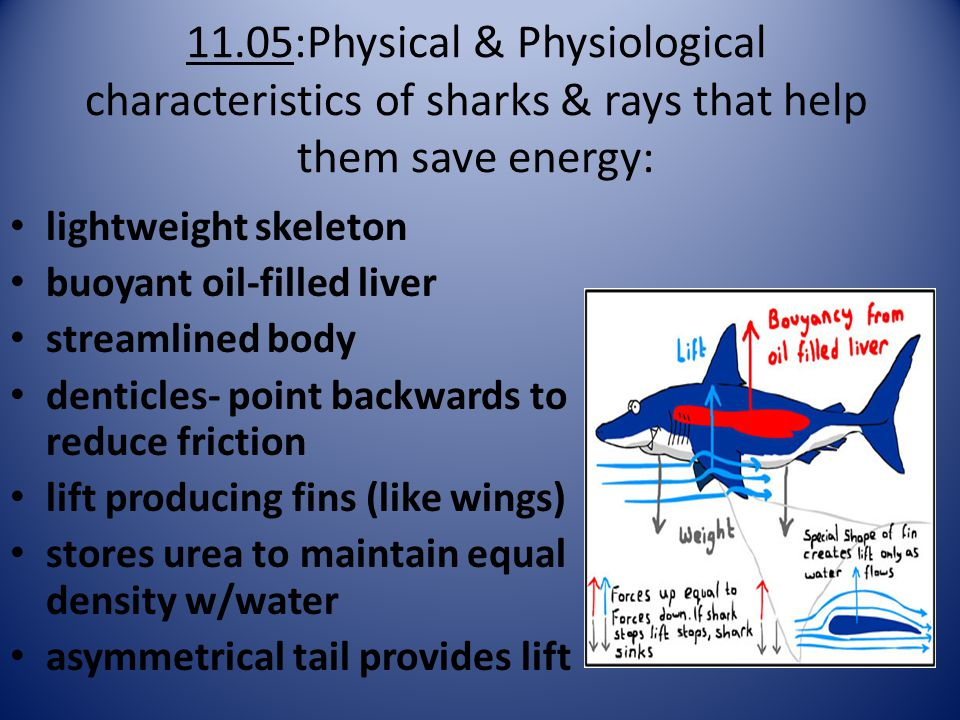 11.05:Physical & Physiological characteristics of sharks & rays that help them save energy: lightweight skeleton buoyant oil-filled liver streamlined body denticles- point backwards to reduce friction lift producing fins (like wings) stores urea to maintain equal density w/water asymmetrical tail provides lift