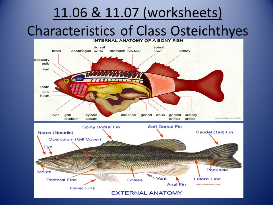 11.06 & 11.07 (worksheets) Characteristics of Class Osteichthyes