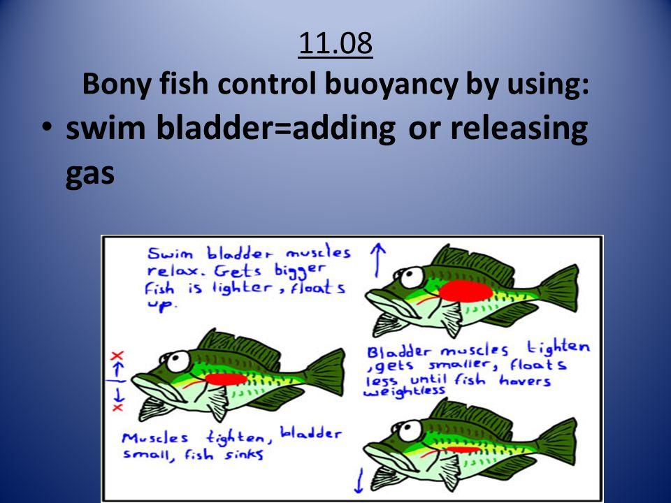 11.08 Bony fish control buoyancy by using: swim bladder=adding or releasing gas
