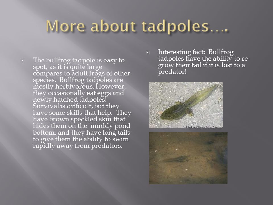 The bullfrog tadpole is easy to spot, as it is quite large compares to adult frogs of other species.