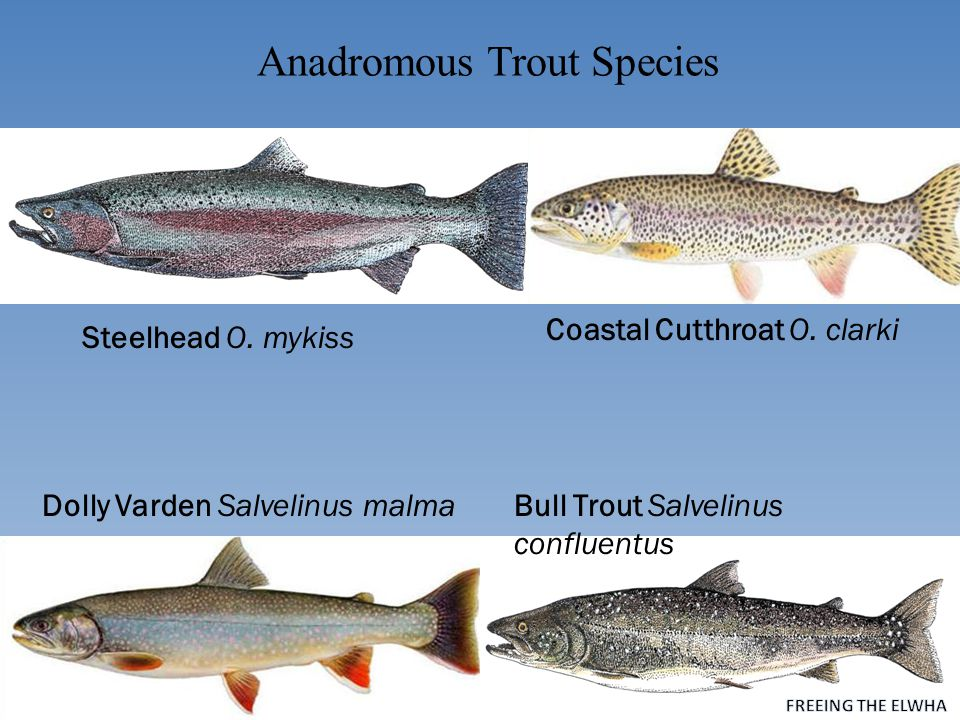 Anadromous Trout Species Steelhead O. mykiss Coastal Cutthroat O.
