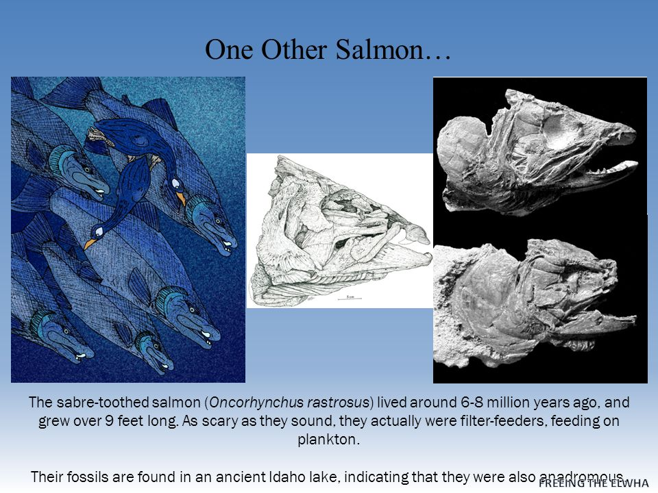 One Other Salmon… The sabre-toothed salmon (Oncorhynchus rastrosus) lived around 6-8 million years ago, and grew over 9 feet long.