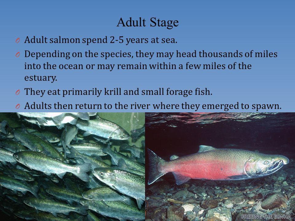 Returning Adults These sockeye have changed to the spawning red form Here a sockeye salmon is still in its ocean-going silver form