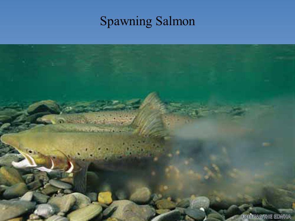 Pacific Salmon Species Chinook O. tsawytscha Coho O. kisutch
