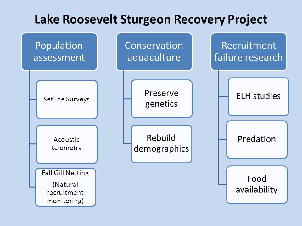 Lake Roosevelt Sturgeon Recovery Project Population assessment Setline Surveys Acoustic telemetry Fall Gill Netting (Natural recruitment monitoring) Recruitment failure research ELH studiesPredation Food availability Conservation aquaculture Preserve genetics Rebuild demographics