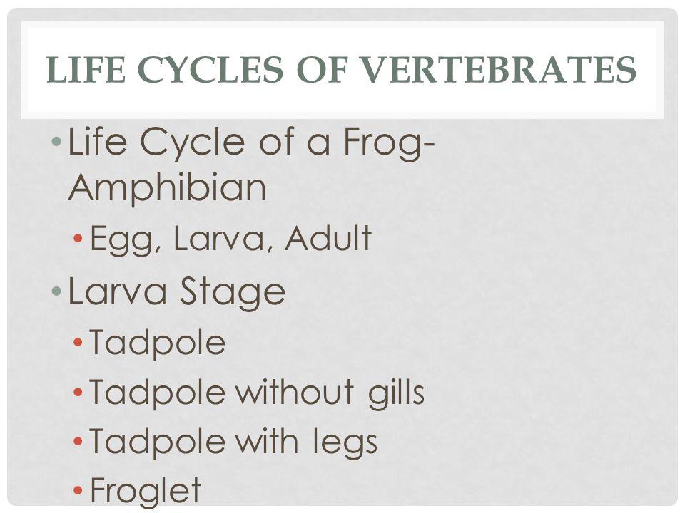 LIFE CYCLES OF VERTEBRATES Life Cycle of a Frog- Amphibian Egg, Larva, Adult Larva Stage Tadpole Tadpole without gills Tadpole with legs Froglet