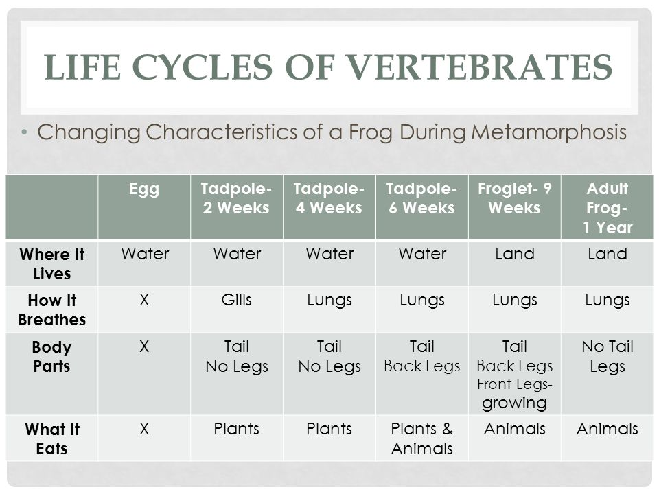 LIFE CYCLES OF VERTEBRATES Changing Characteristics of a Frog During Metamorphosis EggTadpole- 2 Weeks Tadpole- 4 Weeks Tadpole- 6 Weeks Froglet- 9 We