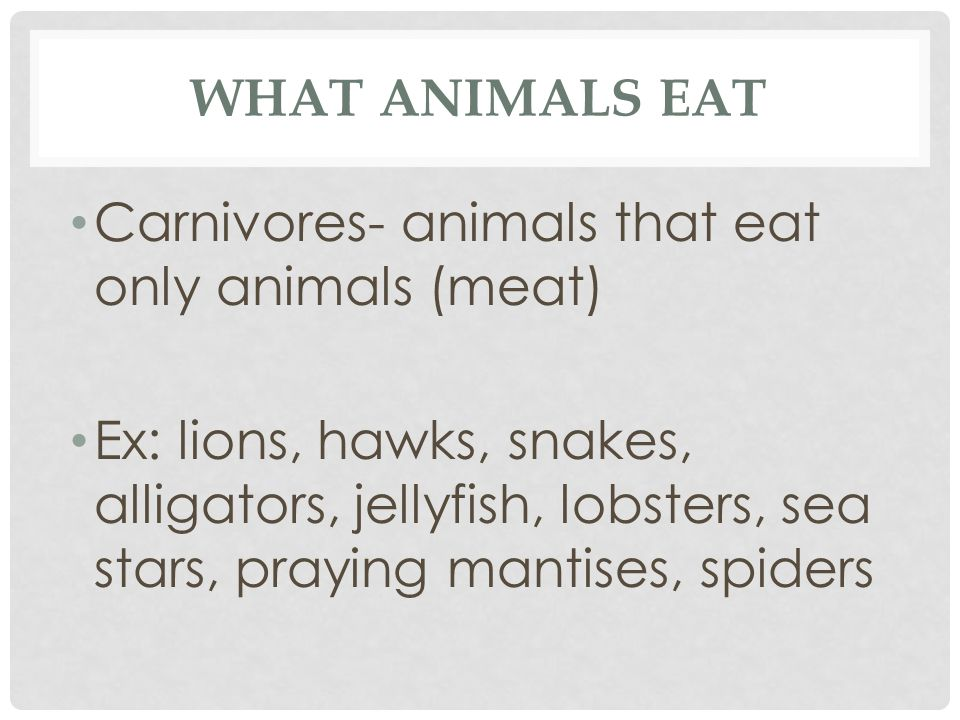 WHAT ANIMALS EAT Carnivores- animals that eat only animals (meat) Ex: lions, hawks, snakes, alligators, jellyfish, lobsters, sea stars, praying mantis