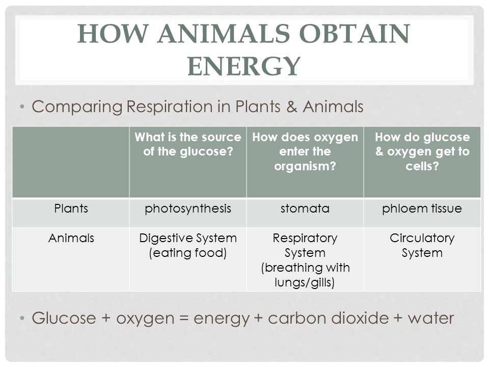 HOW ANIMALS OBTAIN ENERGY Comparing Respiration in Plants & Animals Glucose + oxygen = energy + carbon dioxide + water What is the source of the gluco