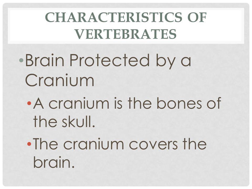 CHARACTERISTICS OF VERTEBRATES Brain Protected by a Cranium A cranium is the bones of the skull. The cranium covers the brain.