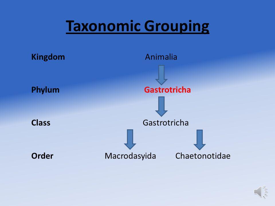 Taxonomic Grouping Kingdom Animalia Phylum Gastrotricha Class Gastrotricha Order Macrodasyida Chaetonotidae