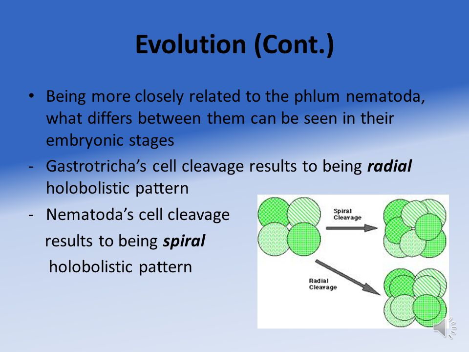 Evolution (Cont.) Being more closely related to the phlum nematoda, what differs between them can be seen in their embryonic stages -Gastrotricha's cell cleavage results to being radial holobolistic pattern -Nematoda's cell cleavage results to being spiral holobolistic pattern