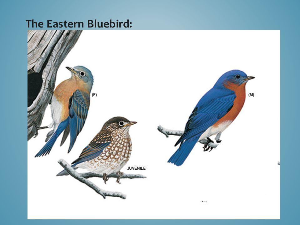 The Eastern Bluebird: